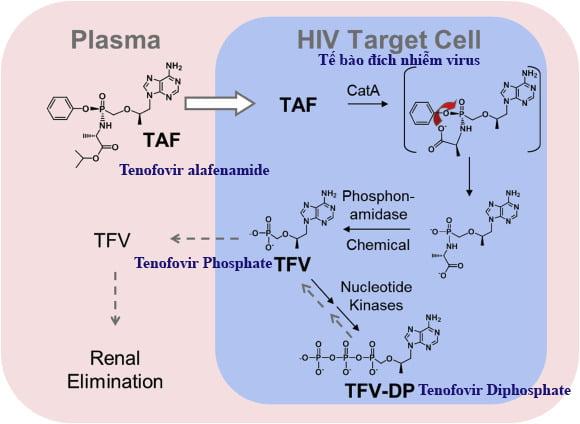 Hấp thu và phân bố của thuốc Hepbest 25mg Tenofovir alafenamide