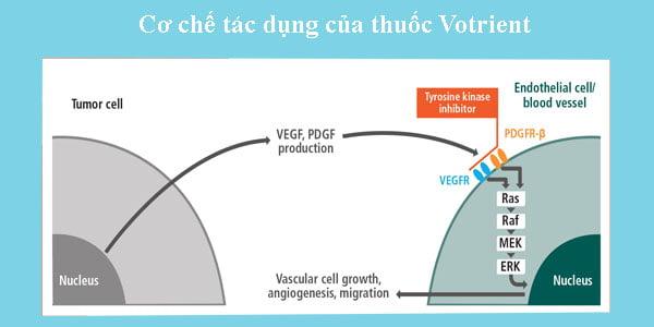 Cơ chế tác dụng của thuốc Votrient điều trị ung thư thận